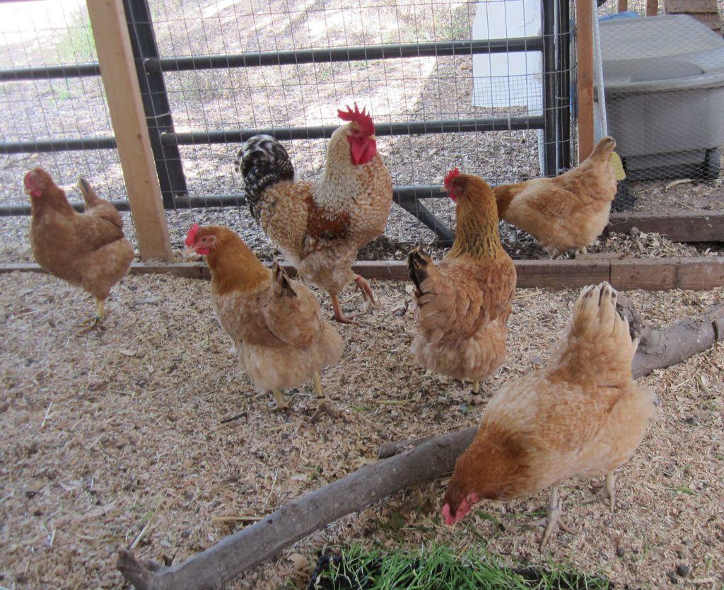 http://cdn.backyardchickens.com/e/e7/900x900px-LL-e717ae9d_MegansEOBasque1.jpeg