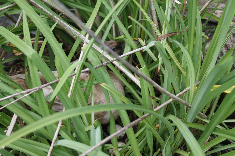 Duck nesting in the garden