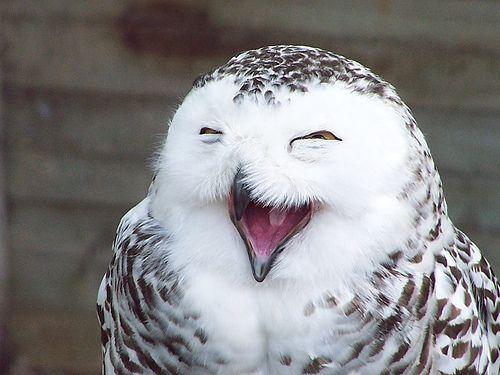 laugh-lols-owl-snowy-owl-Favim.com-221296.jpg
