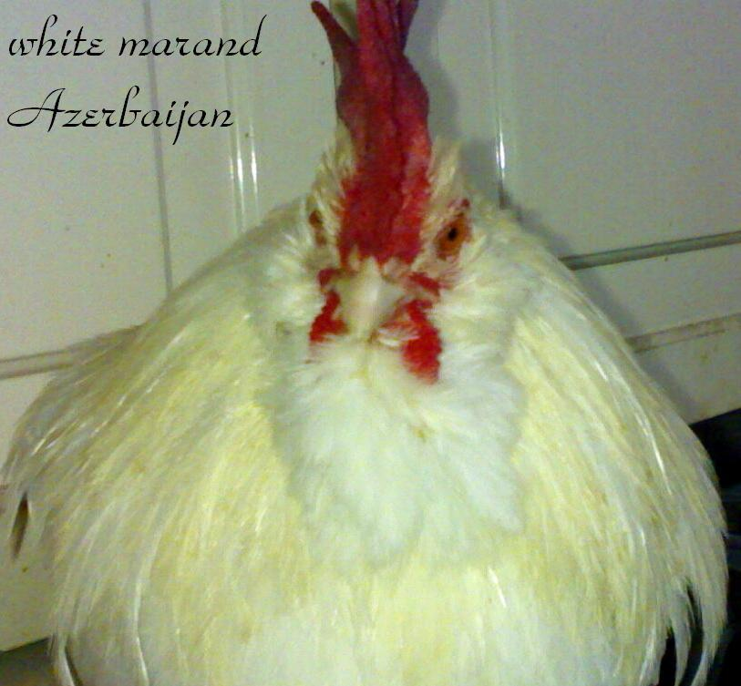 white marand roosters