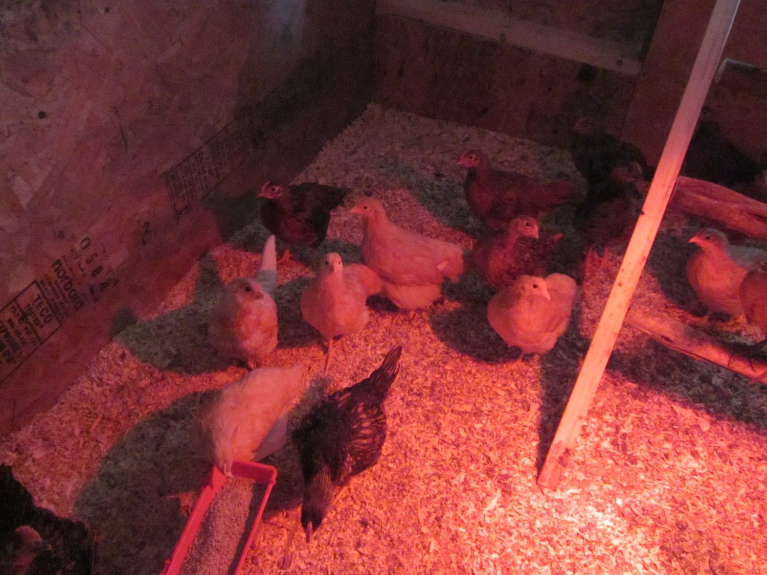 chicks at 6.5 weeks 001.jpg