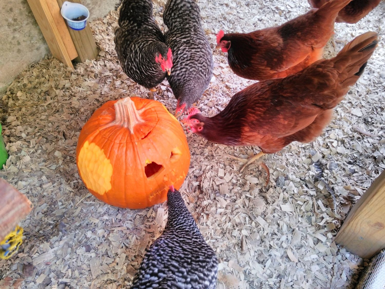 Hens love to help carve pumpkins.  We give them a hand getting started, shave some skin off.  My husband could not stop there, he had to put a face in one.