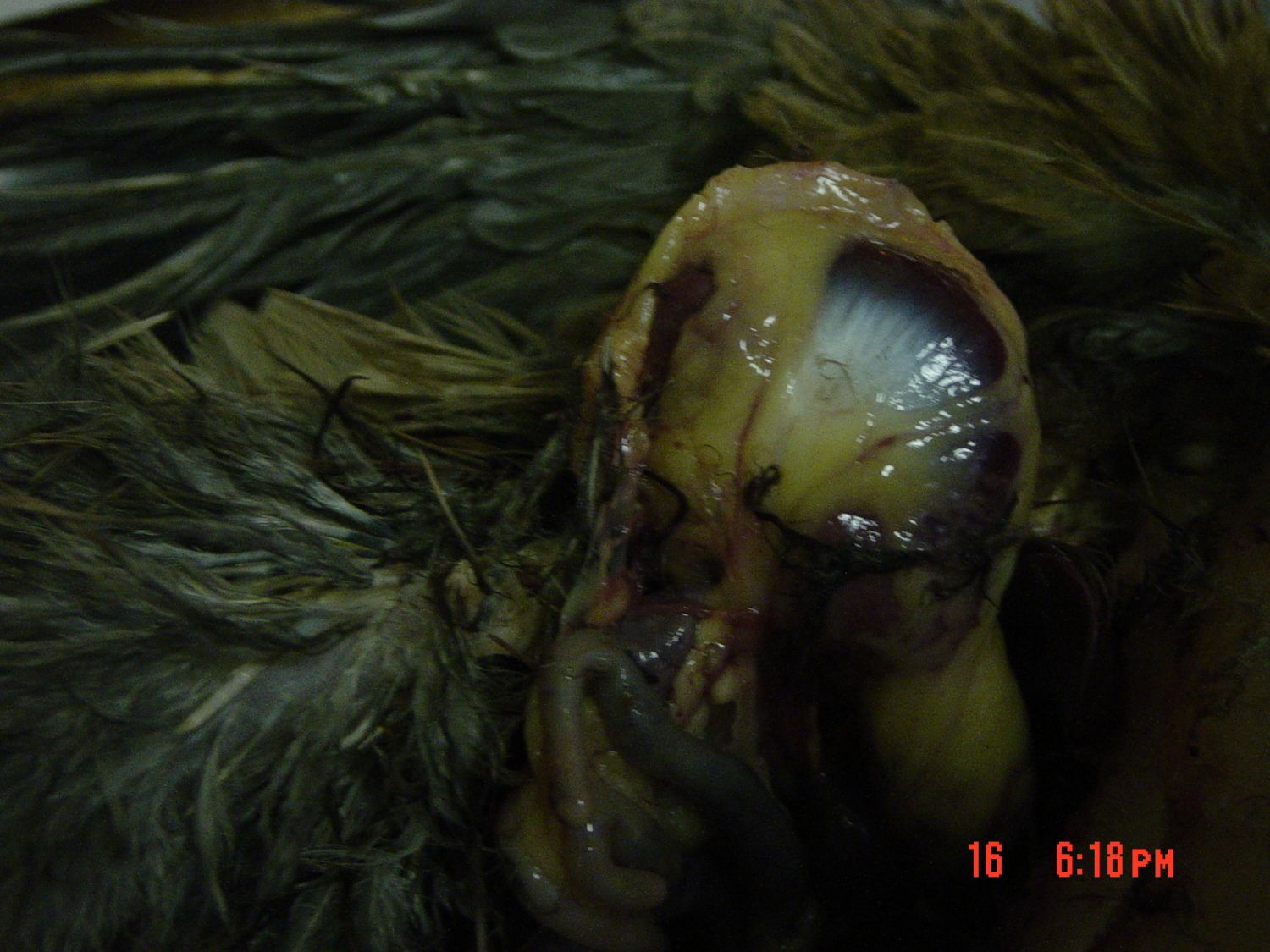 Lobzi's photos in Necropsy of pullet revealed gizzard encased in fat