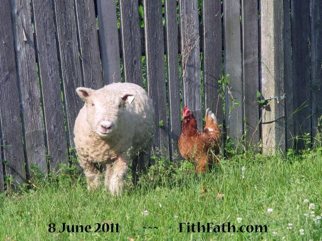 baby doll wether and full sized hen (c) image http://FithFath.com/Farm