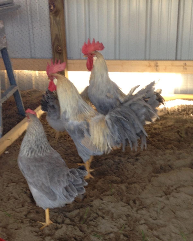 Isabelle Leghorns Backwoods Poultry Stock