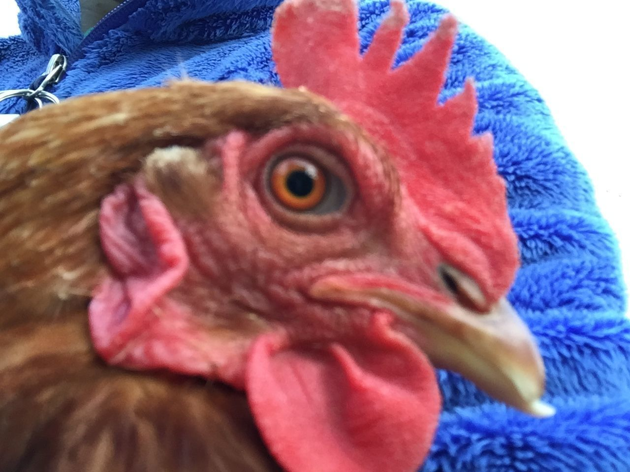Poultry parent's photos in Hen with with odd pupil