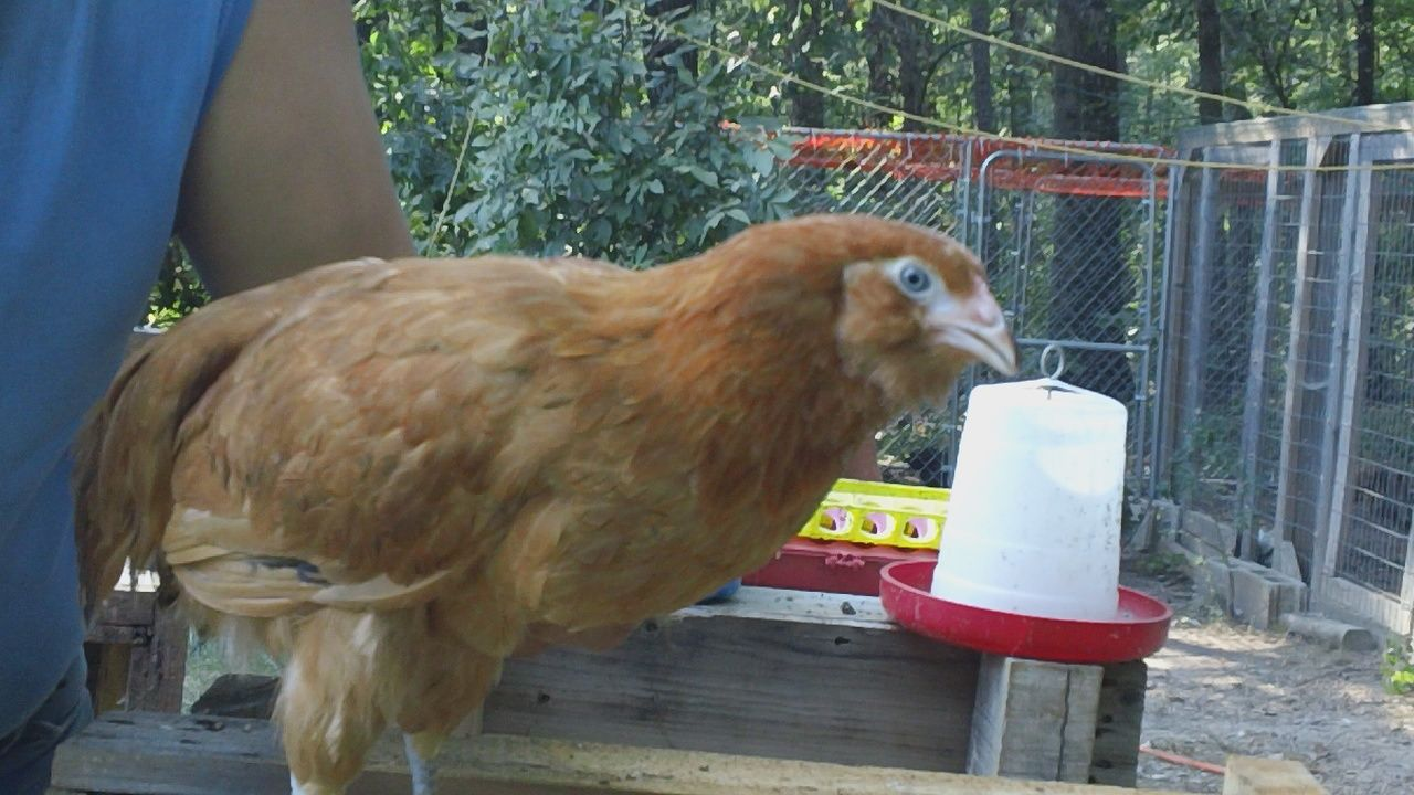 Young Red Project Pullet #2