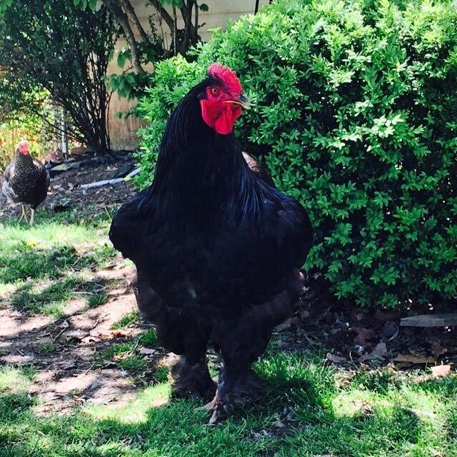 eggorthechicken's photos in Chicken Breed Focus - Cochin