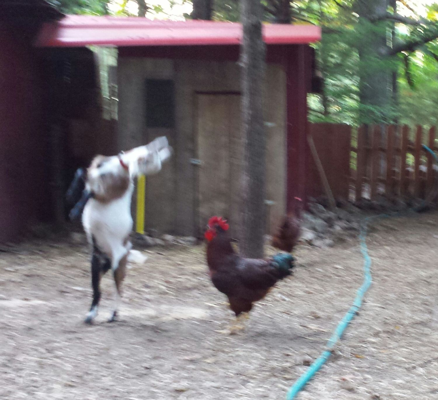 Dixie, our Nigerian Dwarf will Not put up with 