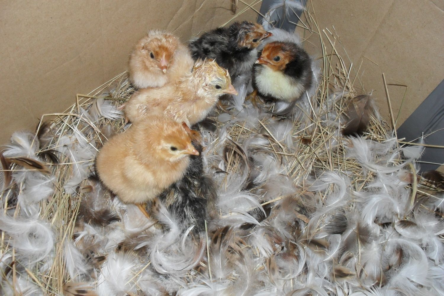 Isa Brown & Golden Spangled chicks.