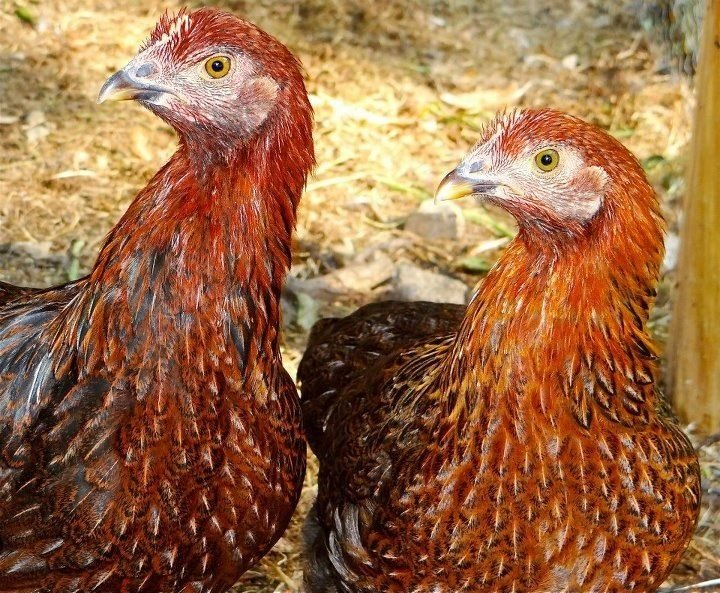 Red Shaver Chickens