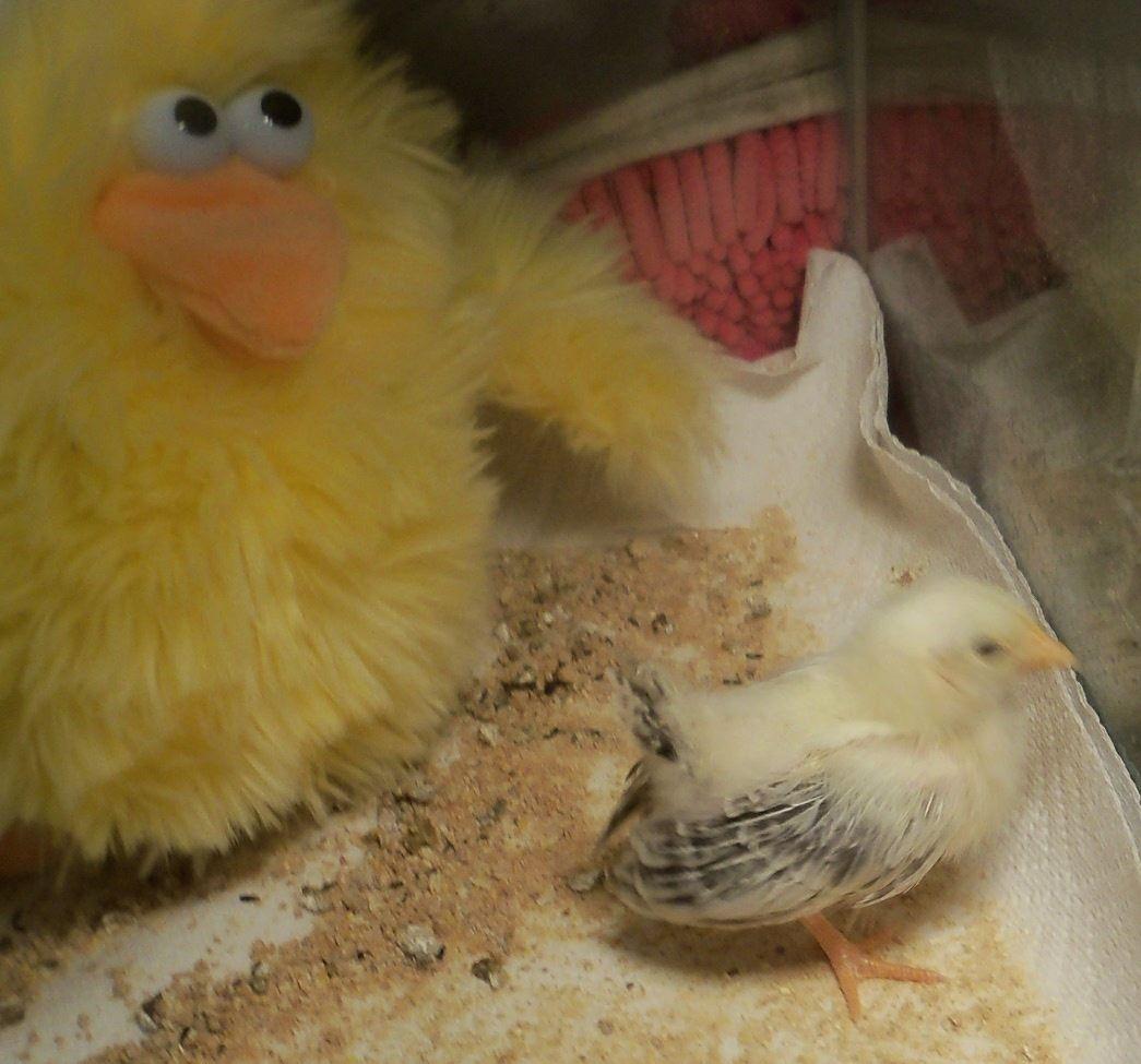 lone chick at 3 weeks.JPG