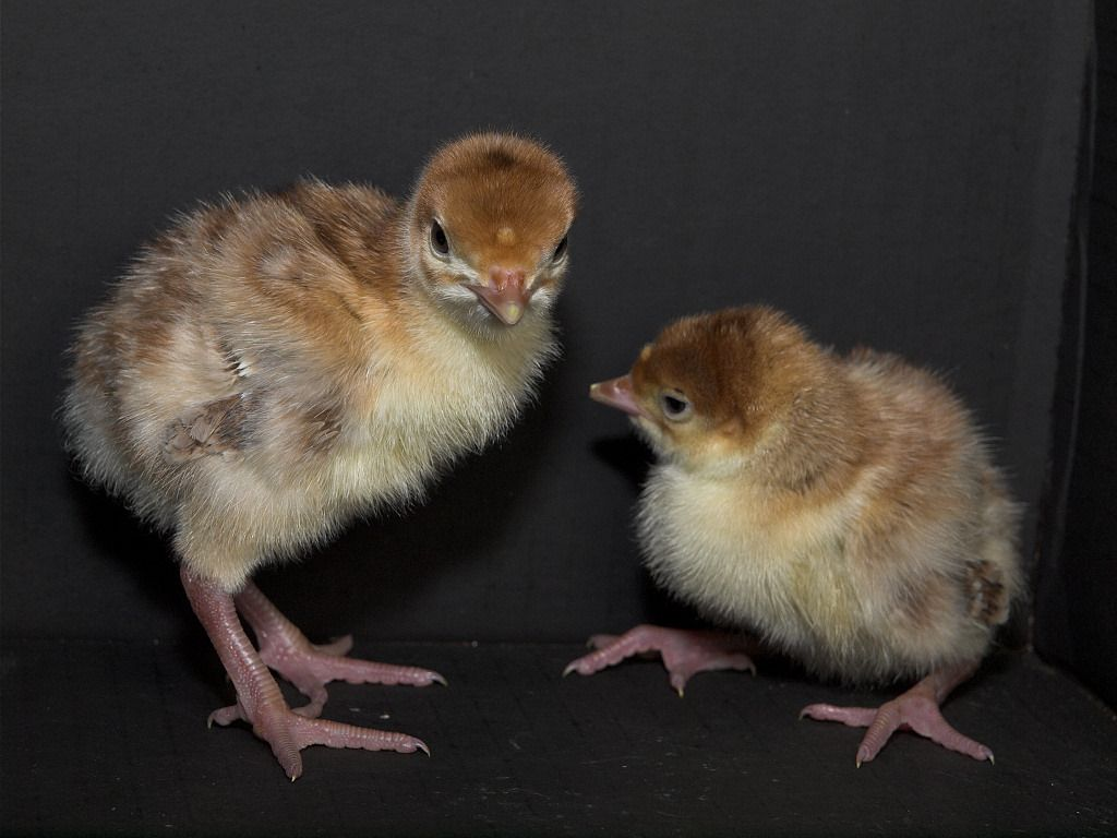 Bourbon Red poults