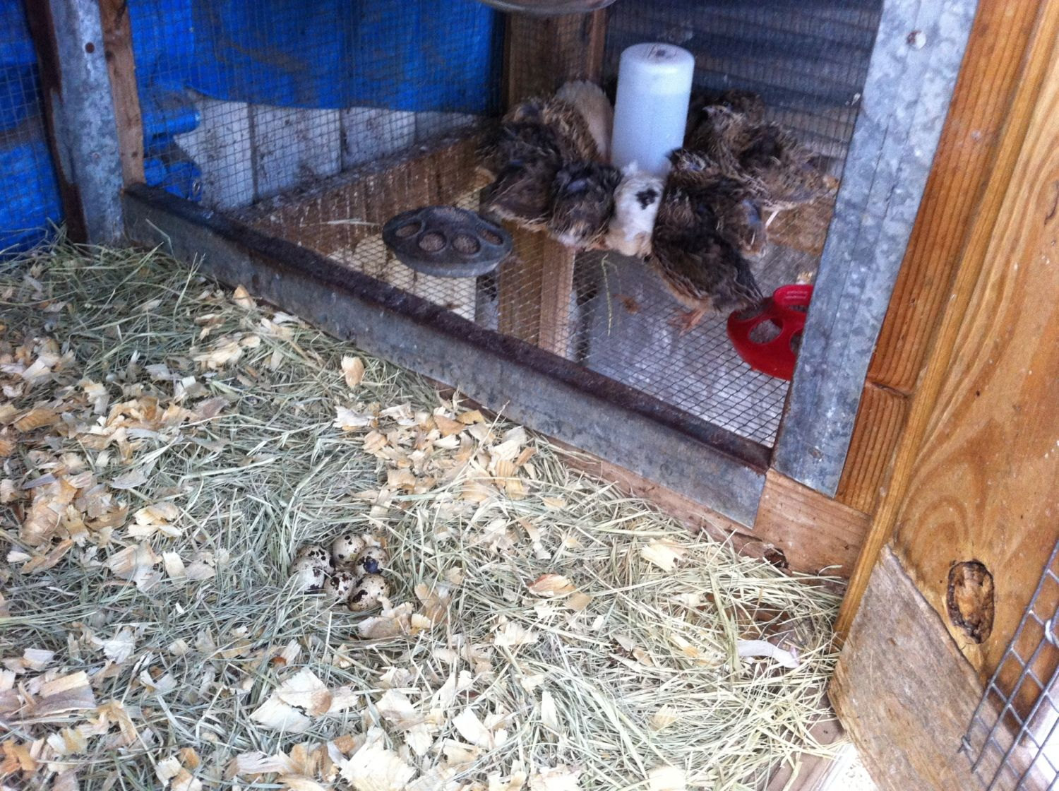 ChickenAndMore's photos in Coturnix Quail