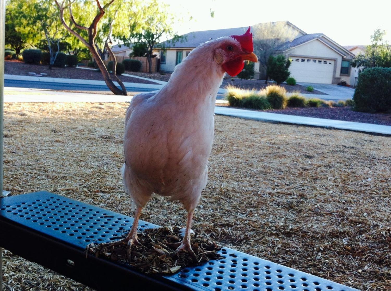 RrAaZz's photos in Show off your lead hen! :)