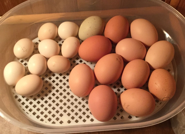 Chicken Egg 17 profile picture