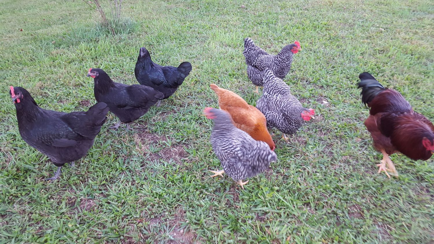 2015 Chickens:  3 Black Astralorp, 3 Barred Rock, and 1 New Hampshire.  1 RIR Rooster.