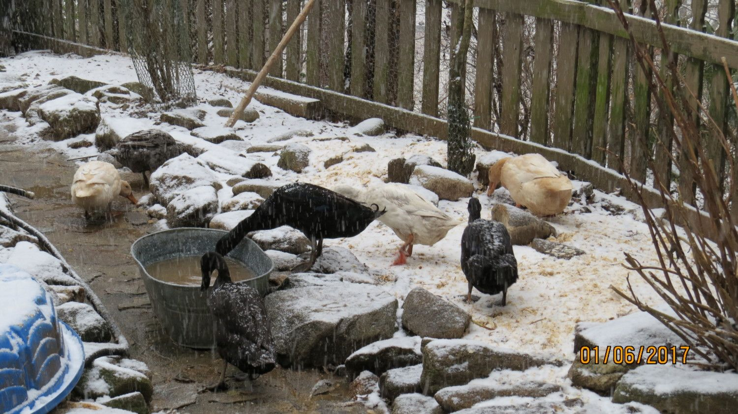 Miss Lydia's photos in My ducks first snow!