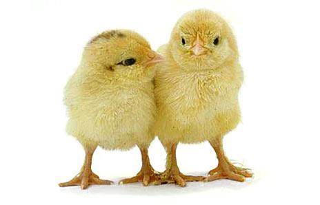 Beautiful Baby Images on How To Socialize Baby Chickens   Backyard Chickens Community