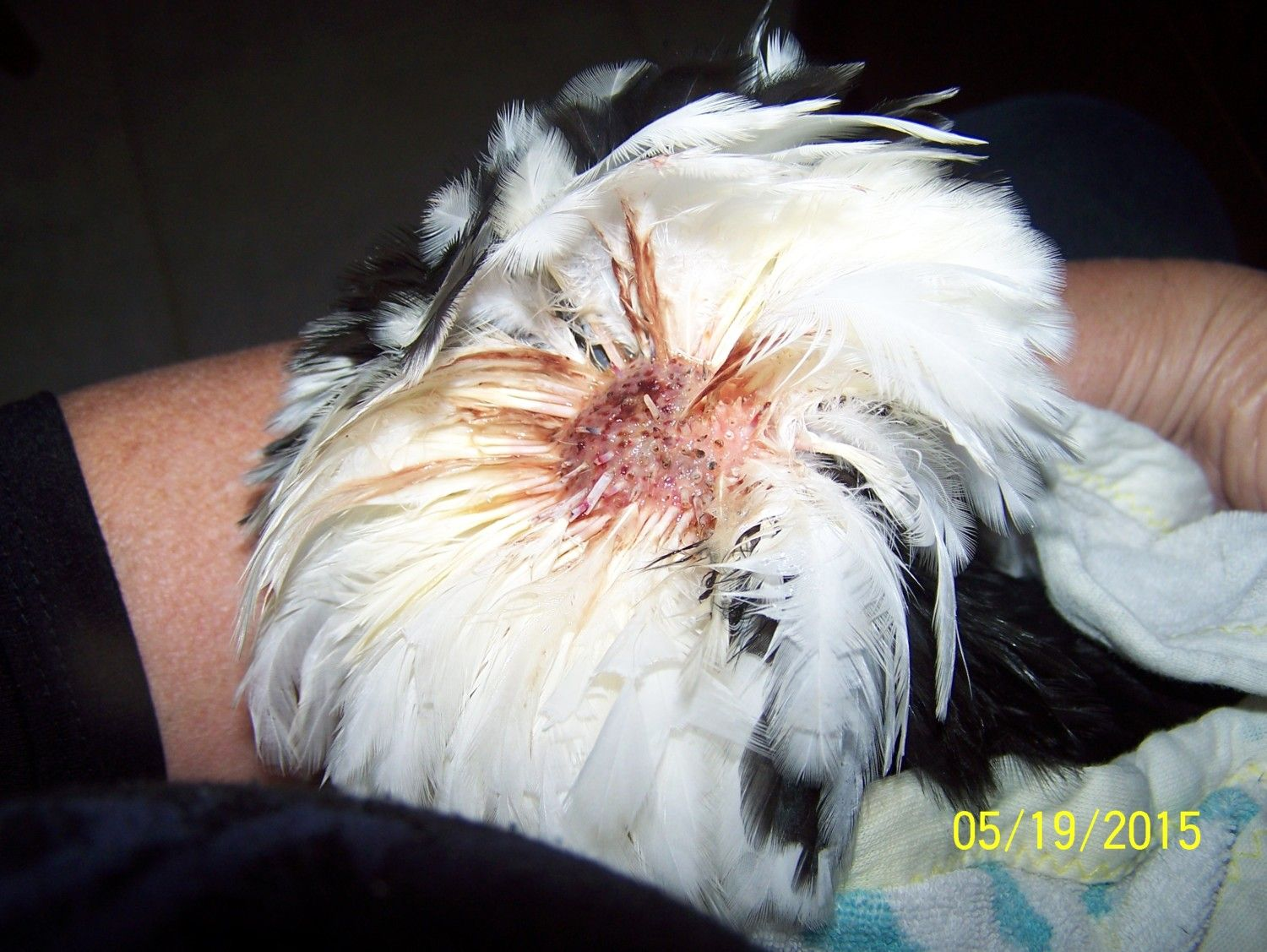 Hello Kitty getting aid for her pecked feathers...She's all healed up now. Steptic kept the others away from her this time.
