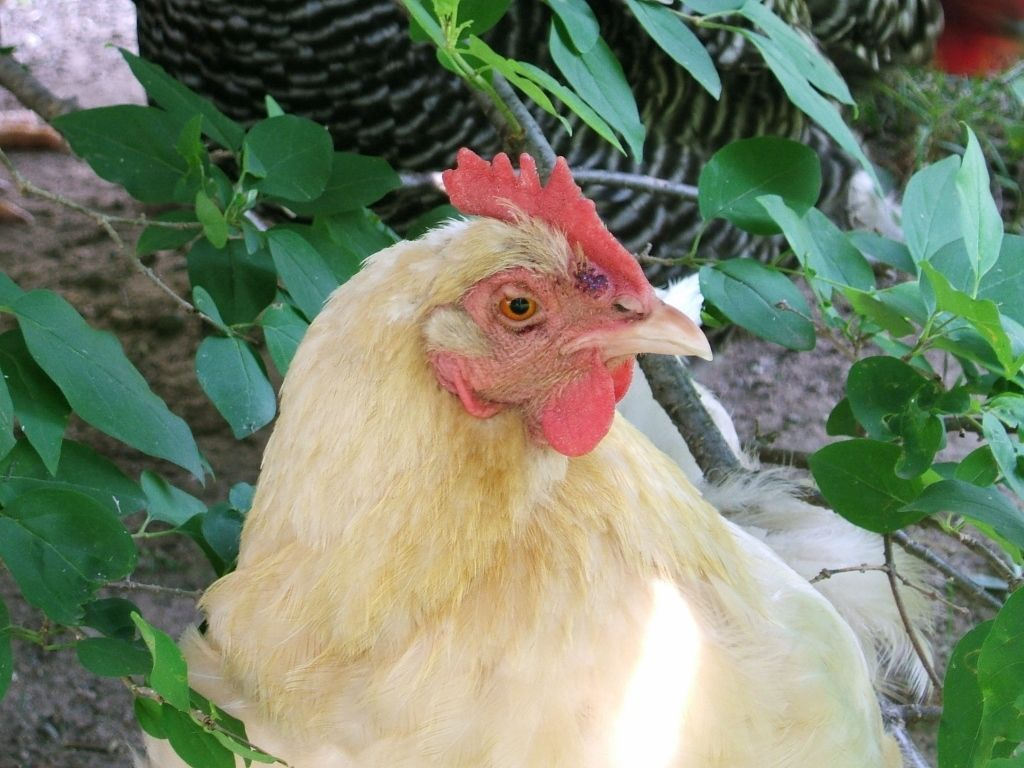 K-12 Chickens's photos in Hen with Two Bumps on Face