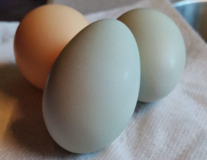 """Easter Egger """"Joan's"""" First Egg 02/03/2016"""