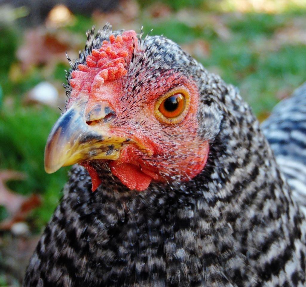 K-12 Chickens profile picture