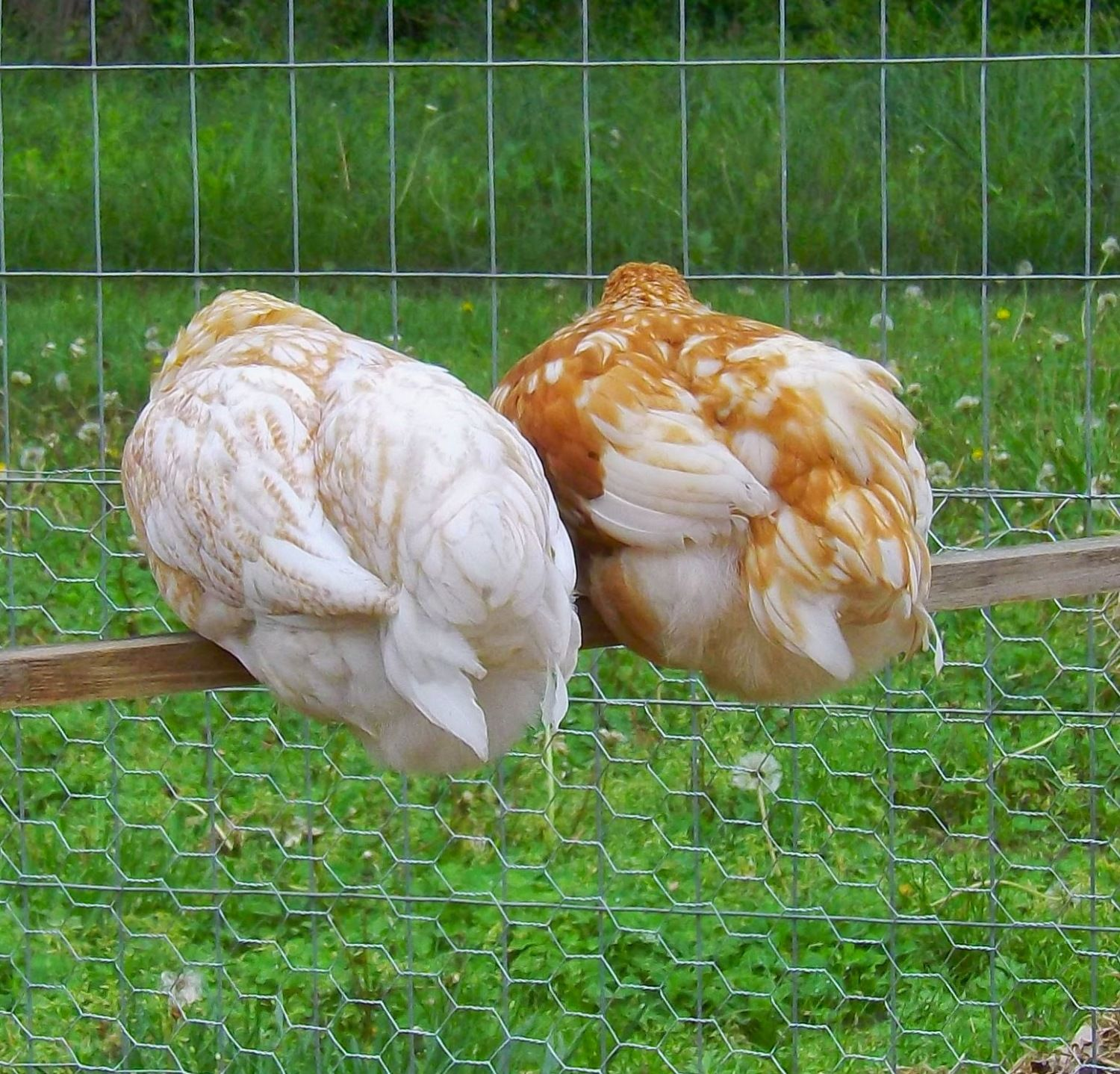 chickens I have,am going to get, or want