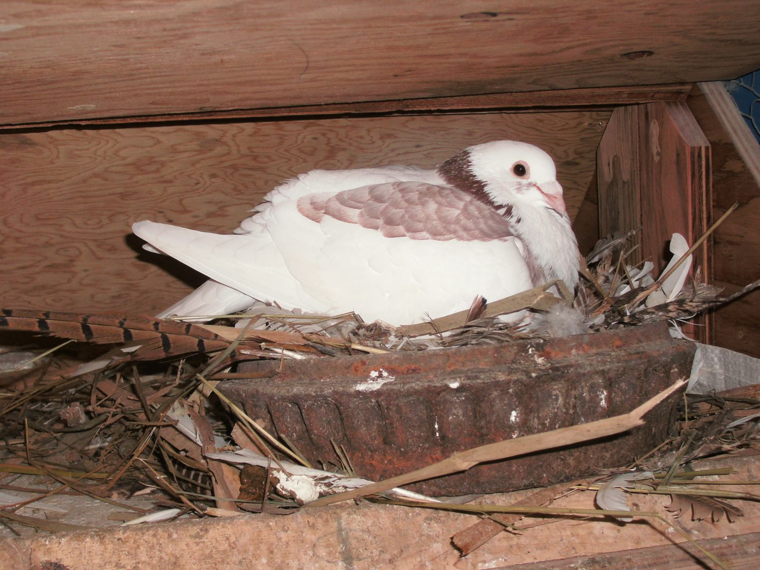 Daddy pigeon incubating 2 squabs hatched Dec 27 & 28th 2012.