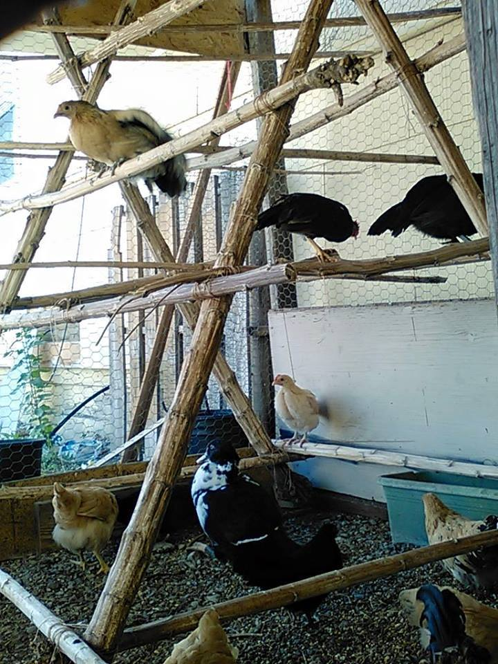 Another A-frame shot with Larry the Muscovy duckling(2 1/2 months old)  underneath.