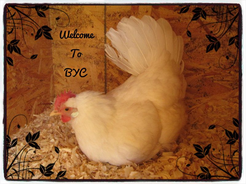 Cynthia12's photos in Malays, leghorn bantams, and much more!