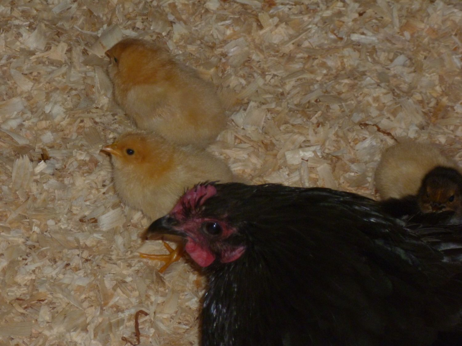 Fluffballs's photos in Welcome Home, Chicks! *Warning- pic heavy!*