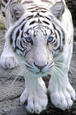 Frost bite88's photos in ~Element Race ~ tiger RP accepting