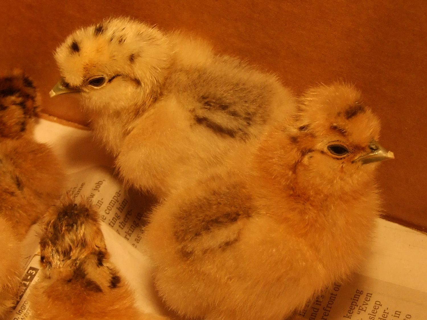 silkie chicks 001.JPG
