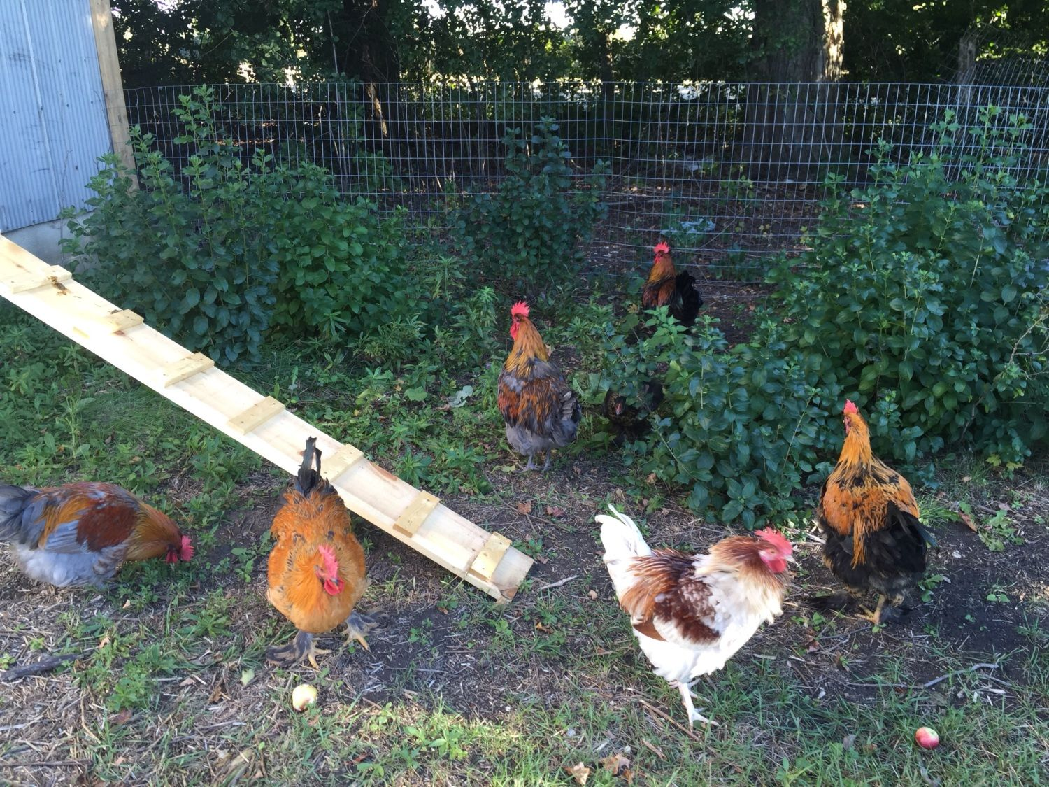 The roosters checking out the roofless run