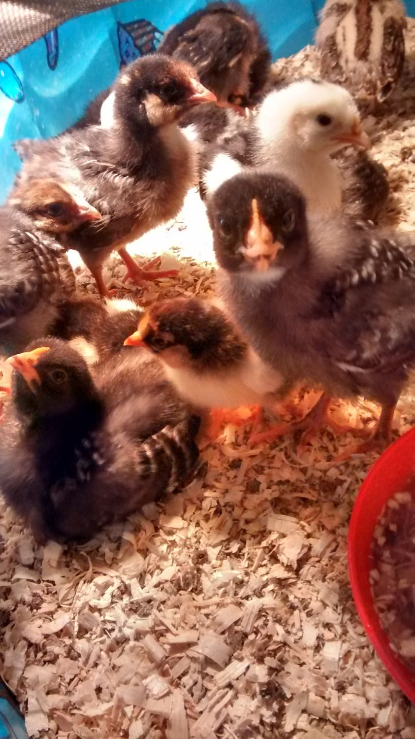 shortgrass's photos in Comb sexing chicks