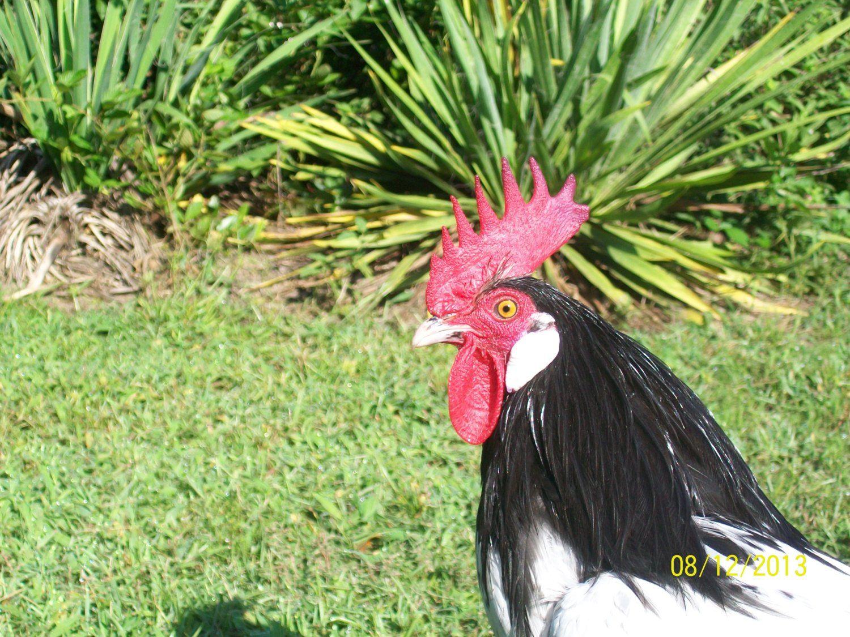 ramirezframing's photos in CSU - Chicken State University- Large Fowl SOP