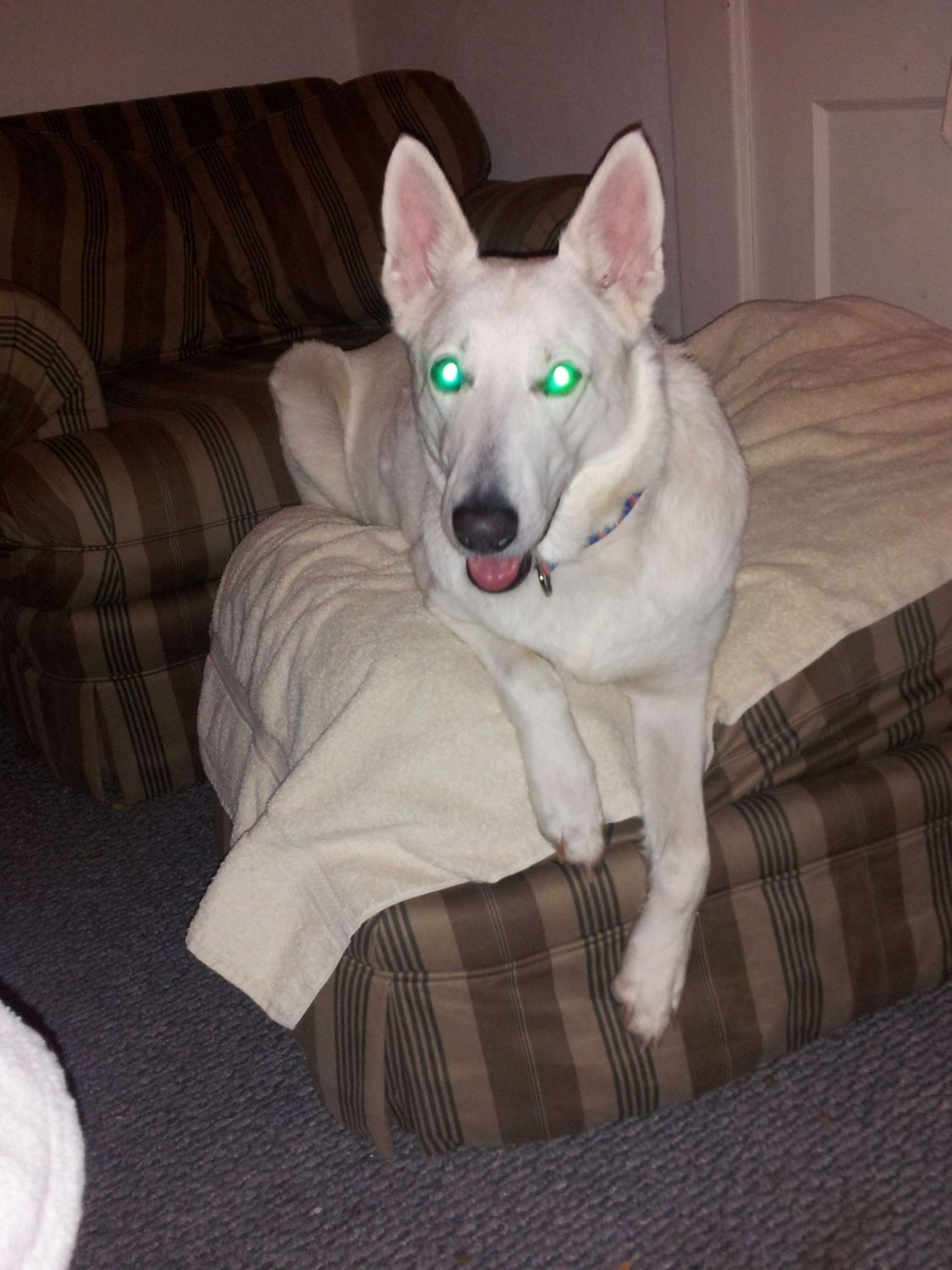 """This is Millee, my 8 year old white German Shepherd. I have had her for a little over 2 years. She isn't much of a farm dog, she doesn't """"shepherd"""" anything anywhere! But she loves the kids, and is very protective of the house, especially when the kids are home."""