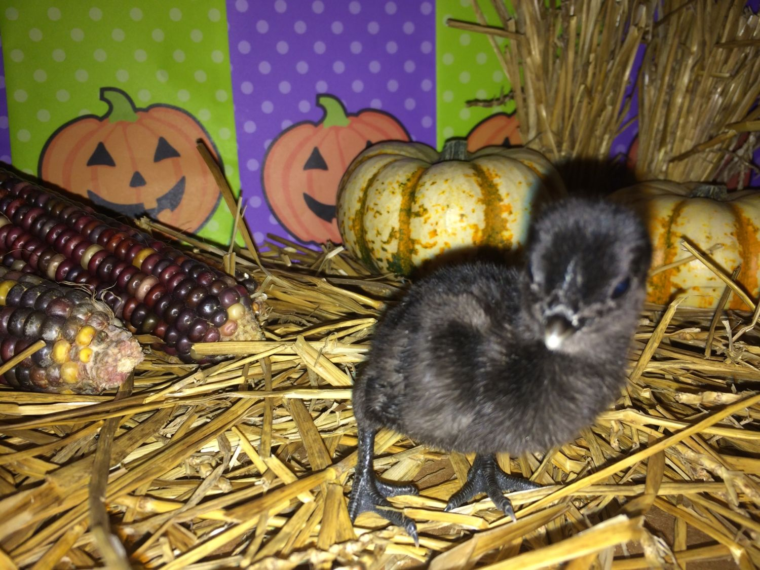 birdman55's photos in Fall/Autumn Poultry PHOTO Contest! Halloween Hatch-a-Long 2016 w/ Hosts, Mike, Sally & BantyChooks
