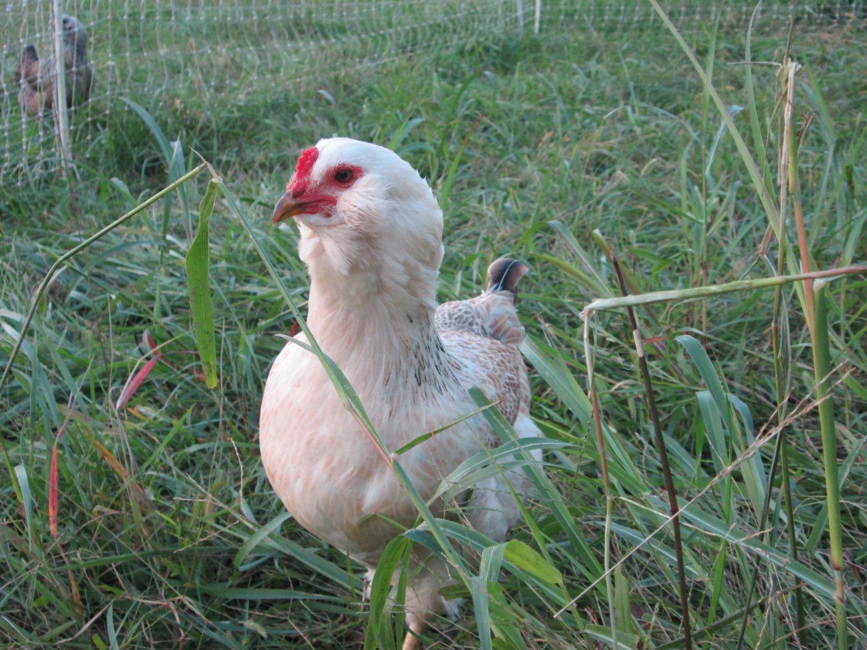chickens 002.jpg