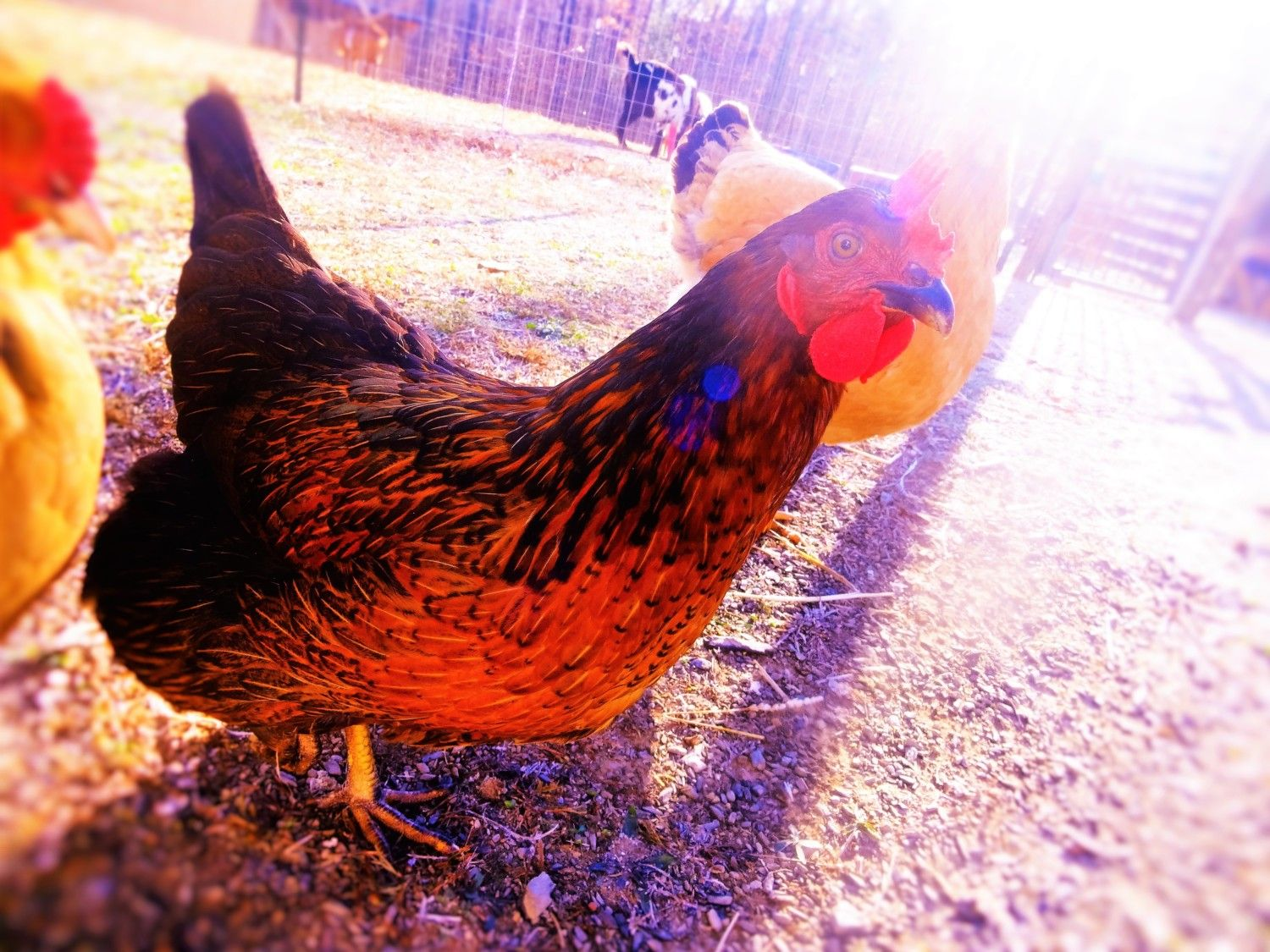 TroyerGal's photos in Hen Contest!