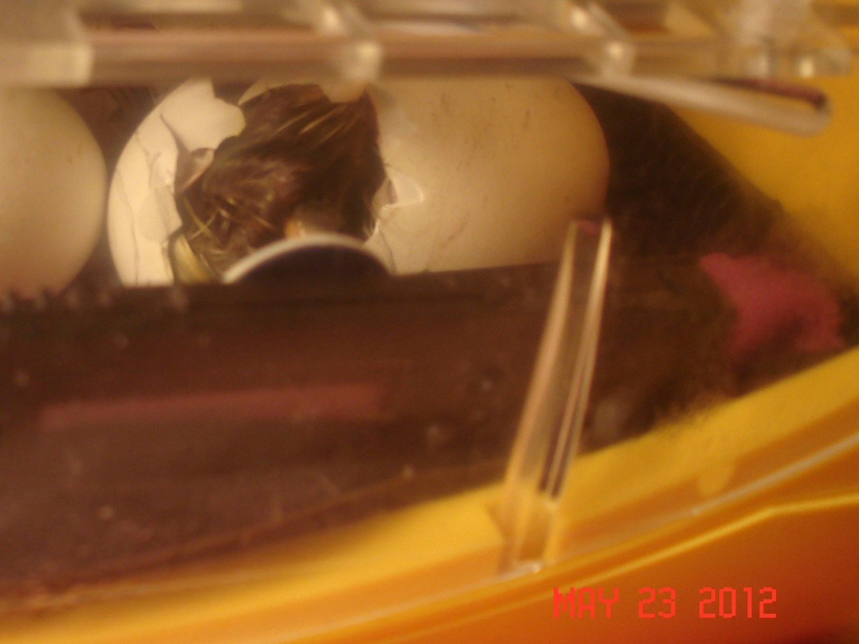 gosling hatching 5.JPG