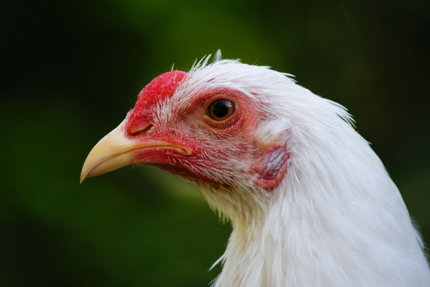 cluckcluckluke's photos in Comb Contest 2014 - Walnut